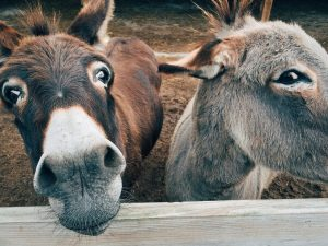 Donkeys in a pen cared for by a local school 4H club